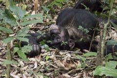 Schlafenschimpanse, Nationalpark Kibale, Uganda Stockfoto