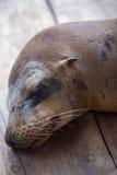 Schlafenseelöwe in den Galapagos Stockfoto
