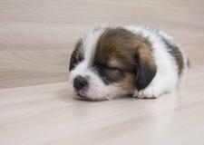 Schlafensteckfassungsrussell-Terrierwelpeneinmonatiges baby Stockbilder