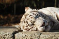 Schlafenweißer wilder Tiger auf dem Felsen im Wald stockfotos