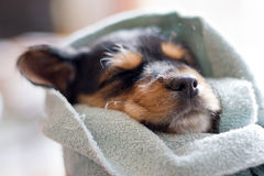 Schlafenwelpe stockfotografie