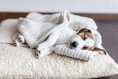 Schlafenwelpe auf Hundebett Stockfotos