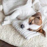 Schlafenwelpe auf Hundebett Stockbilder