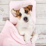 Schlafenwelpe auf Hundebett Lizenzfreie Stockbilder