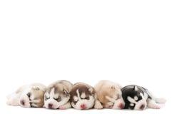 Schlafenwelpe des sibirischen Schlittenhunds Stockfoto
