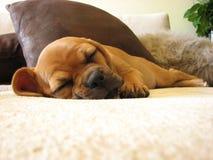 Schlafenwelpe mit den gekreuzten Fahrwerkbeinen Lizenzfreie Stockfotografie