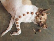Schlafhund stockfoto
