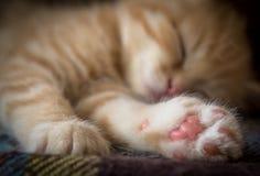 Schlafingwerkätzchen Stockfotografie
