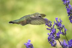 Schlagende Flügel eines rufous Kolibris stockfotos