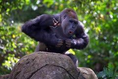 Schlagender Kasten des Silverbackgorillas Stockbilder