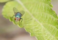 Schlag-Fliege auf einem Blatt Lizenzfreie Stockbilder
