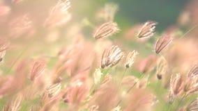 Schlaggras des Zeitlupewinds auf Wiese und schönem Sonnenuntergang stock video