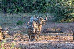 Schlamm bedeckte Büffel bei Sonnenuntergang Lizenzfreies Stockbild