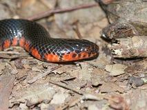 Schlamm-Schlangen-Illinois-wild lebende Tiere Lizenzfreie Stockfotografie