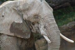 Schlammiger Elefant stockfotografie