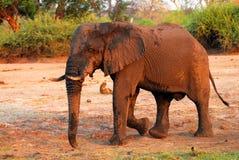 Schlammiges Elefantprofil Lizenzfreie Stockfotografie