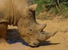 Schlammiges Nashorn Stockfoto