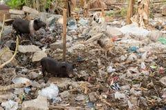 Schlammiges Schwein, das in einem Stapel des Abfalls isst Lizenzfreies Stockbild