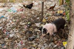 Schlammiges Schwein, das in einem Stapel des Abfalls isst Lizenzfreie Stockfotos