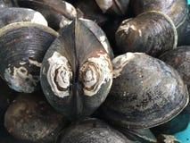 Schlammmuschel oder Mangrovenmuschel, Geloina-coaxans stockfoto