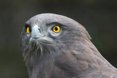 Schlange-Adler Lizenzfreies Stockfoto