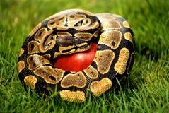 Schlange auf Apfel stockbild