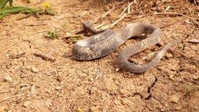 Schlange auf dem trockenen Boden Stockfotos