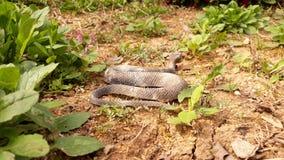 Schlange auf dem trockenen Boden Lizenzfreie Stockfotografie