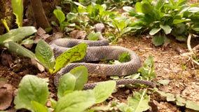 Schlange auf dem trockenen Boden Stockfotografie