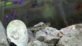 Schlange auf der Jagd stock video
