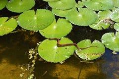 Schlange auf Lilypad Lizenzfreies Stockfoto