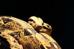 Schlange, Boa von Madagaskar Stockfotografie
