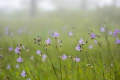 Schlange der Blume mit Haube oder süße purpurrote Blume Stockbild