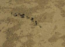Schlange in der Wüste lizenzfreie stockfotos