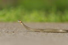 Schlange, die auf gepflasterte Straße kriecht stockfotografie