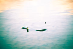Schlange, die in das Wasser schwimmt Stockfotos