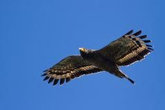 Schlange Eagle, das im blauen Himmel ansteigt stockbild