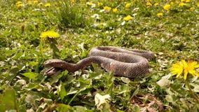 Schlange im Gras Lizenzfreie Stockfotografie