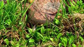 Schlange im Gras stock footage