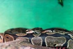 Schlange im Terrarium Stockfoto