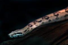 Schlange im Terrarium Stockfotografie