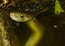 Schlange im Wasser. Stockbild