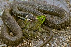 Schlange isst Frosch Stockbild