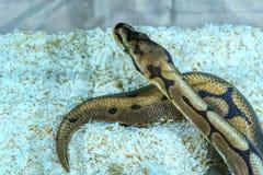Schlange ist Haustier lizenzfreies stockfoto
