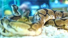 Schlange ist Haustier lizenzfreie stockfotos