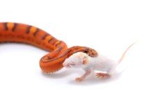 Schlange lokalisiert auf Weiß Stockfoto