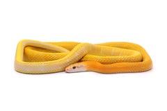 Schlange lokalisiert auf Weiß Lizenzfreie Stockfotografie