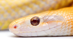 Schlange lokalisiert auf Weiß Lizenzfreies Stockbild