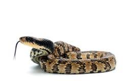 Schlange lokalisiert auf Weiß Lizenzfreie Stockbilder