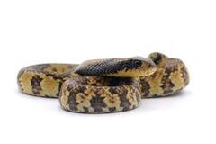 Schlange lokalisiert auf Weiß Stockfotos